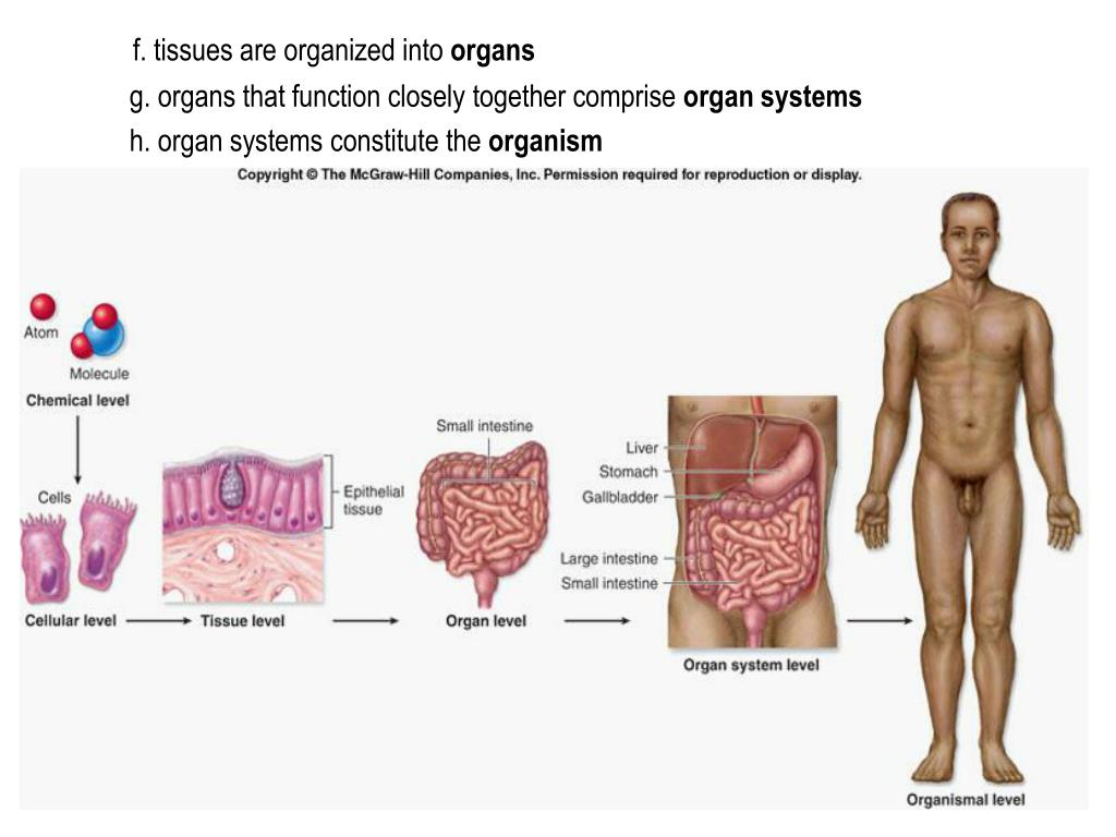f. tissues are organized into
