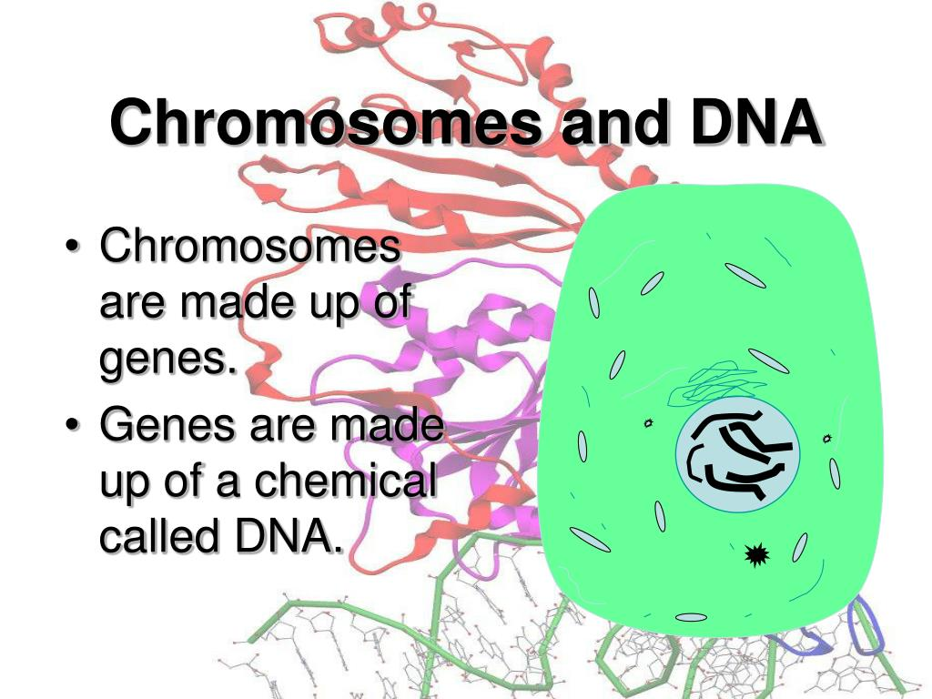 Chromosomes are made up of genes.