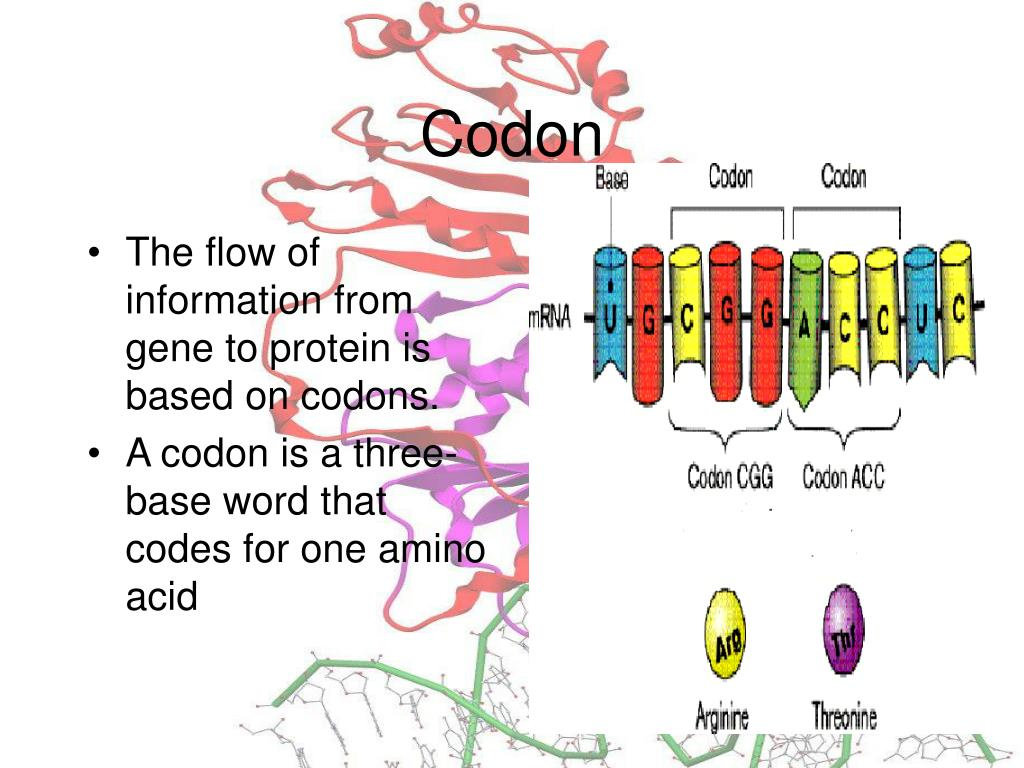 The flow of information from gene to protein is based on codons.