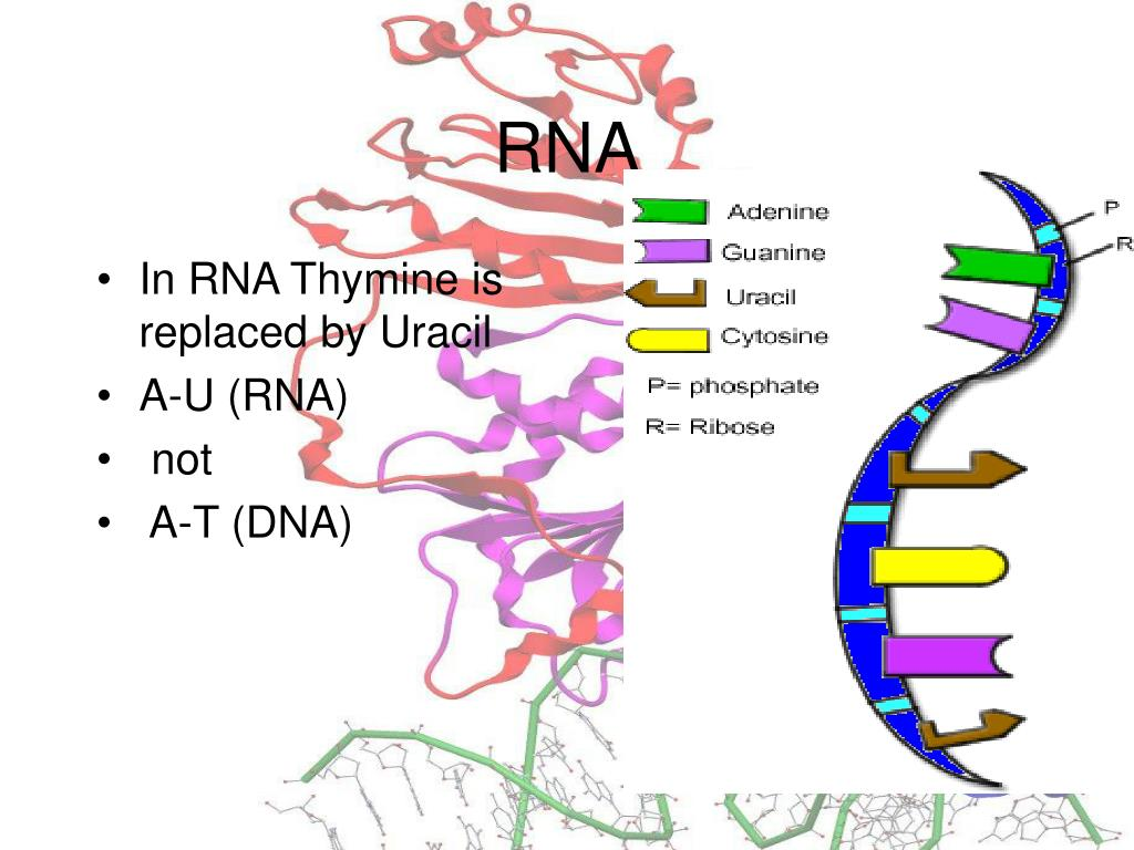 In RNA Thymine is replaced by Uracil