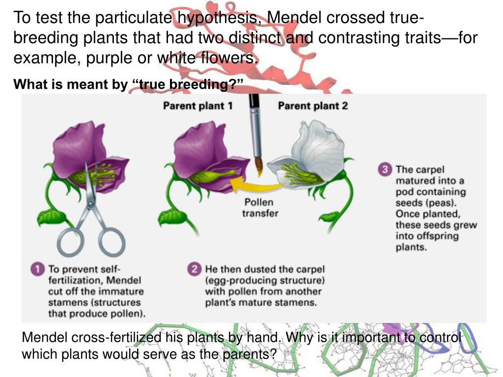 To test the particulate hypothesis, Mendel crossed true-breeding plants that had two distinct and contrasting traits—for example, purple or white flowers.