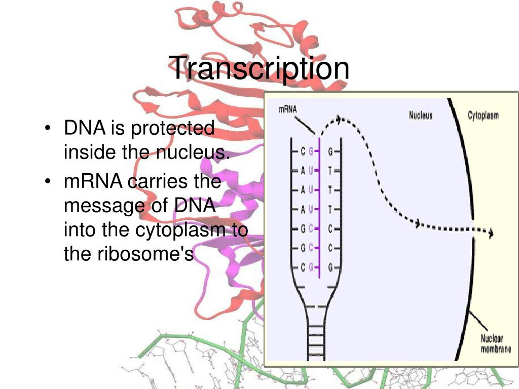 DNA is protected inside the nucleus.