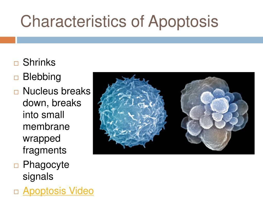 Characteristics of Apoptosis