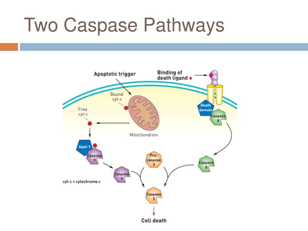 Two Caspase Pathways