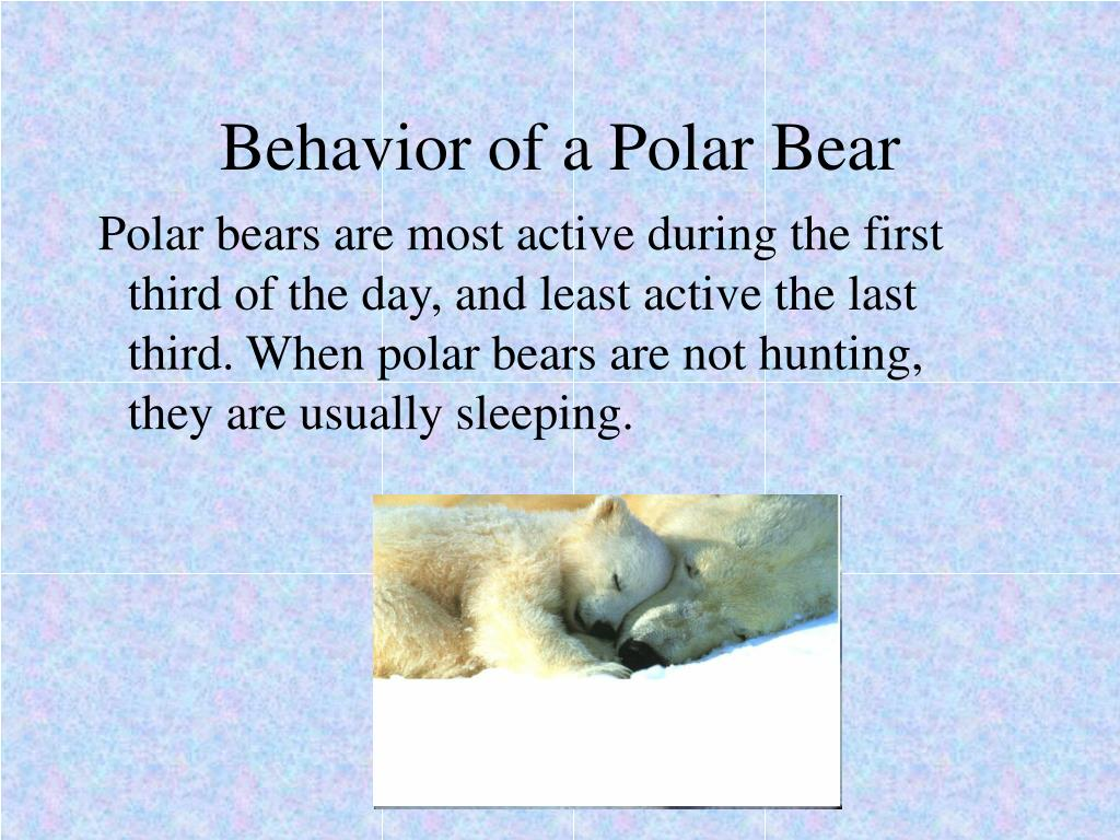 Behavior of a Polar Bear
