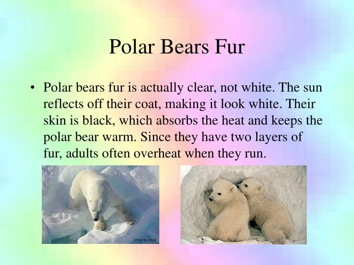 Polar bears fur
