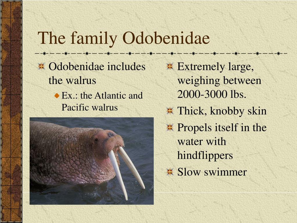 Odobenidae includes the walrus