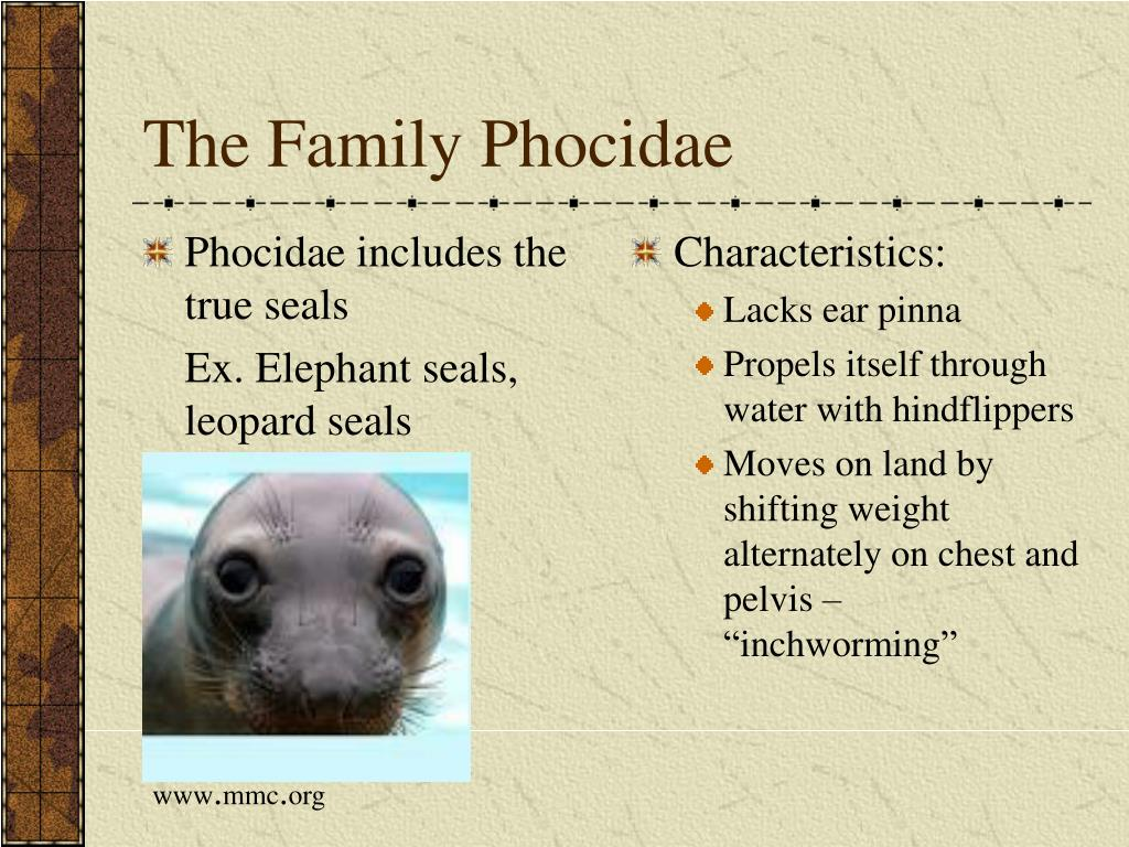 Phocidae includes the  true seals