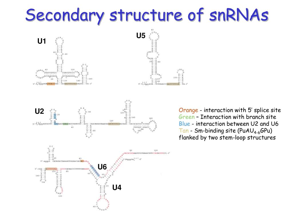 Secondary structure of snRNAs