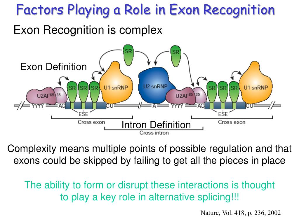 Factors Playing a Role in Exon Recognition