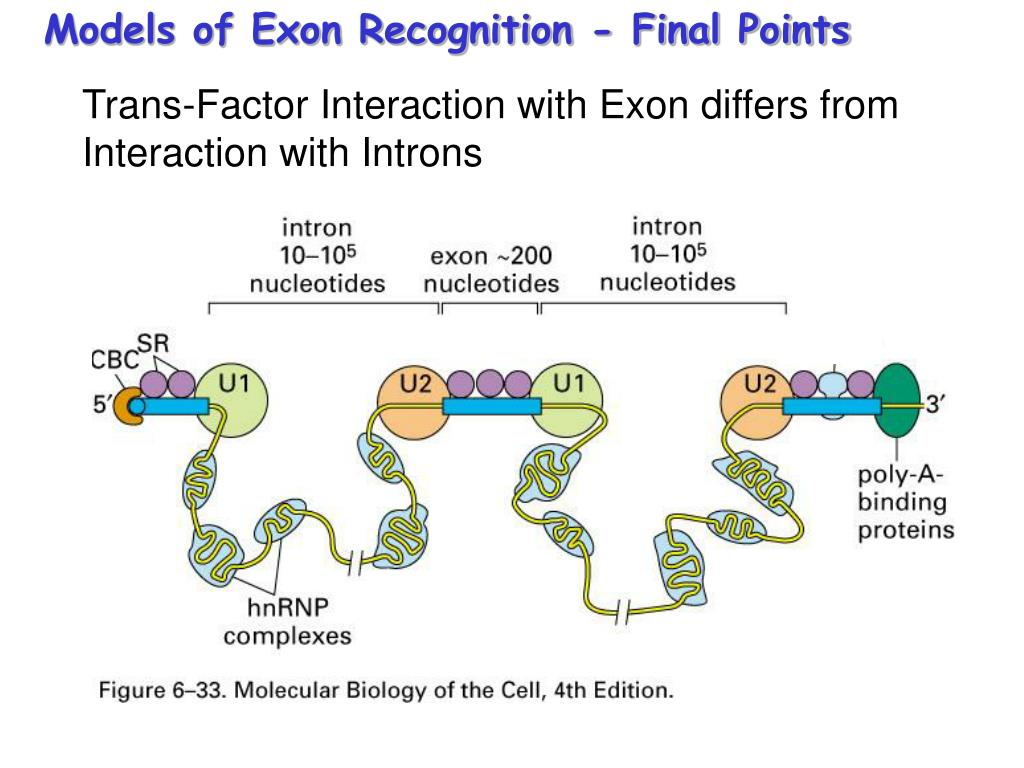 Models of Exon Recognition - Final Points