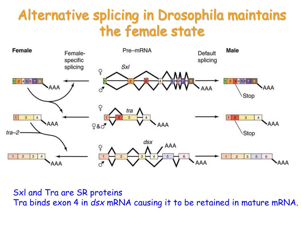 Alternative splicing in Drosophila maintains the female state
