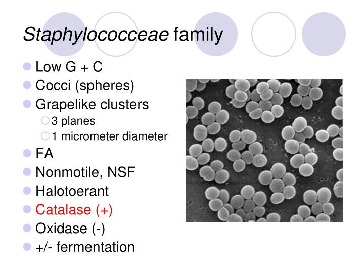 Staphylococceae family l.jpg