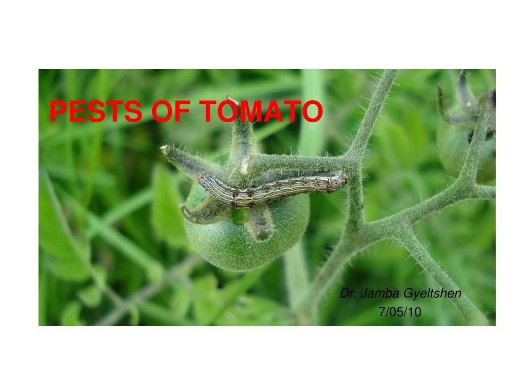 PESTS OF TOMATO