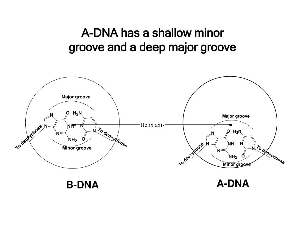 A-DNA has a shallow minor groove and a deep major groove
