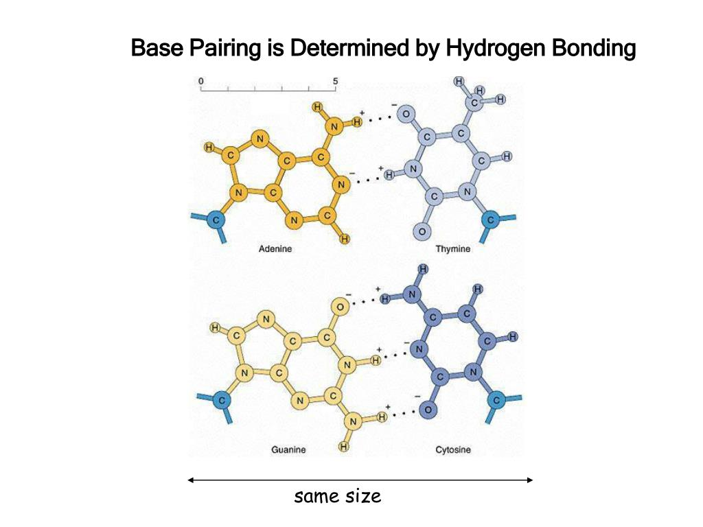 Base Pairing is Determined by Hydrogen Bonding