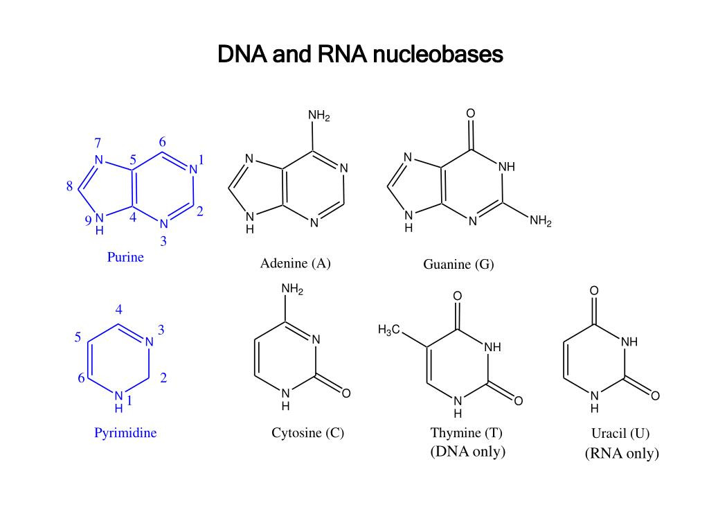 DNA and RNA nucleobases