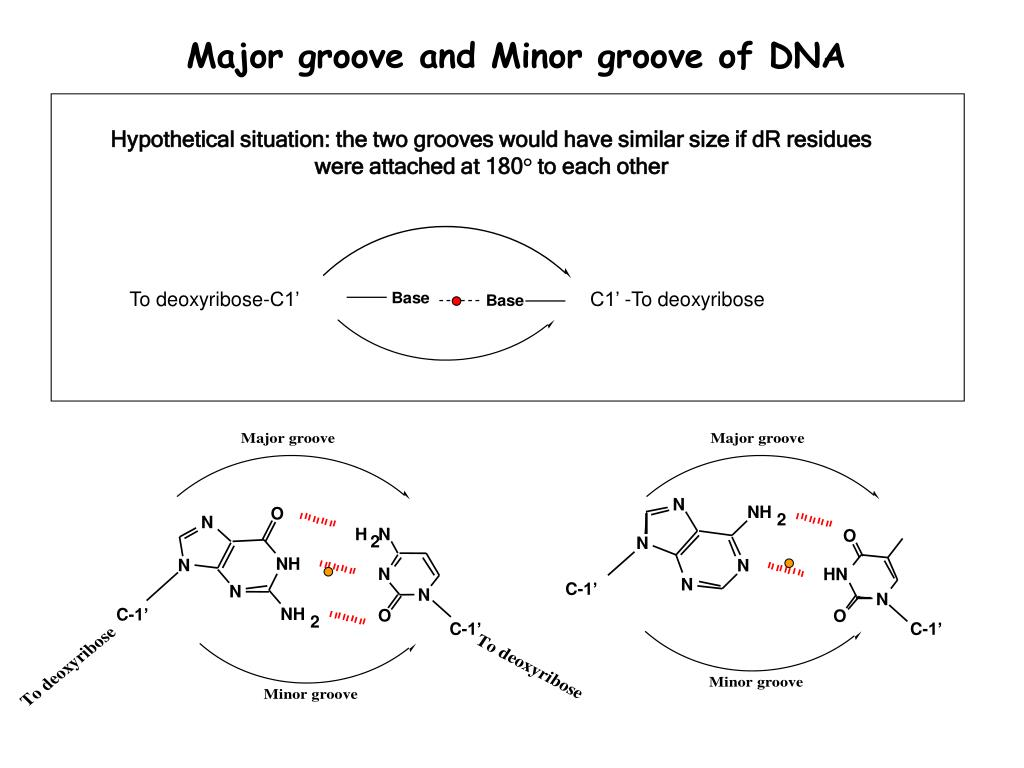 Major groove and Minor groove of DNA
