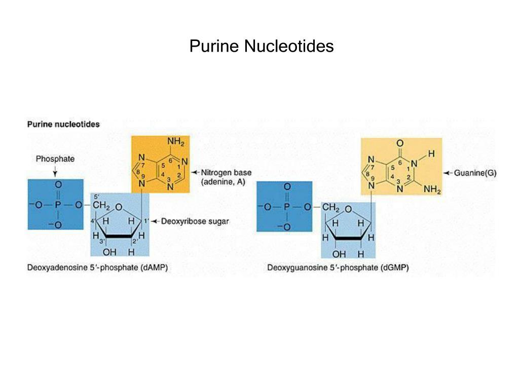 Purine Nucleotides