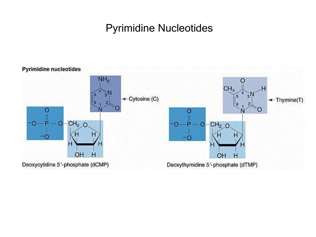 Pyrimidine Nucleotides