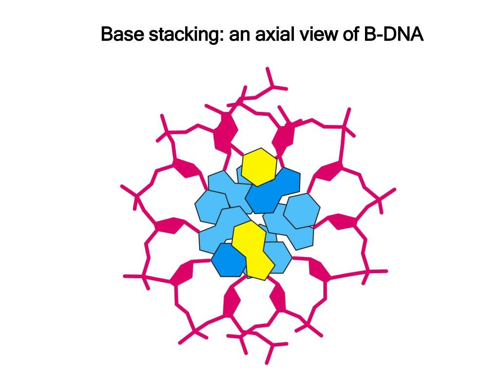 Base stacking: an axial view of B-DNA