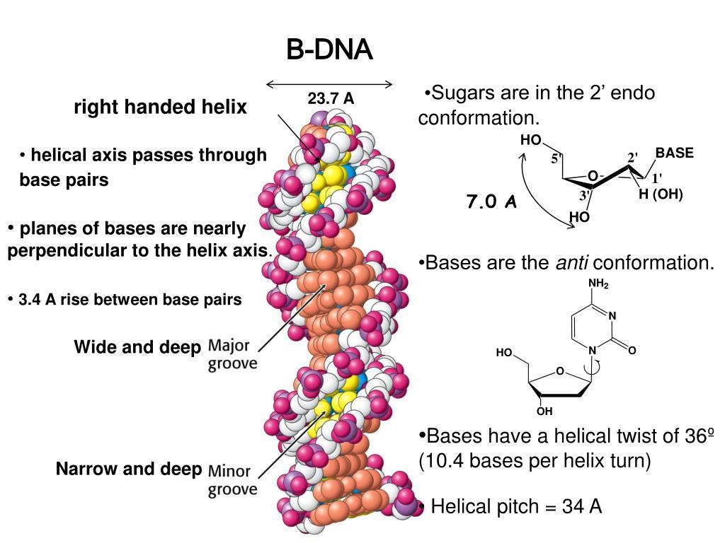 B-DNA
