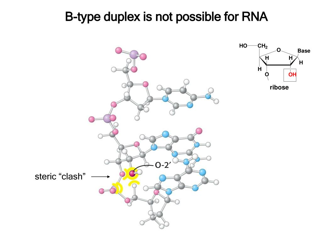 B-type duplex is not possible for RNA