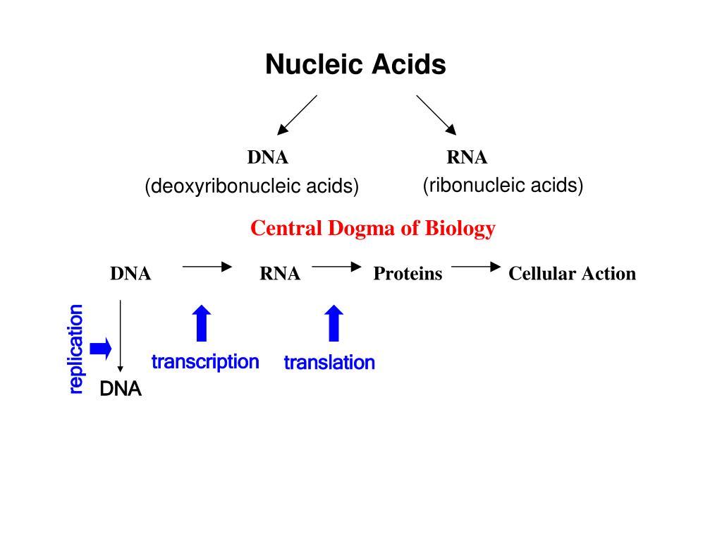(ribonucleic acids)