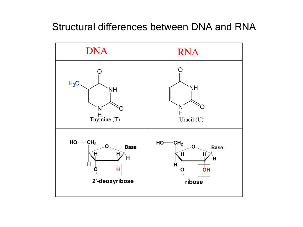 Structural differences between DNA and RNA