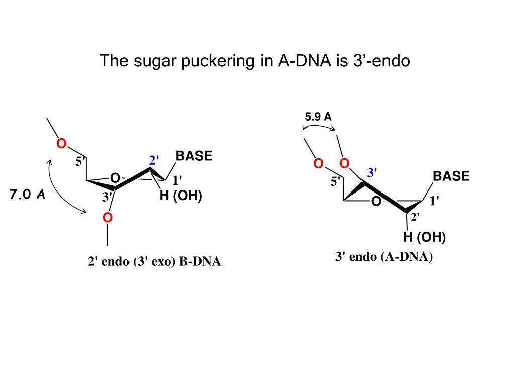 The sugar puckering in A-DNA is 3'-endo