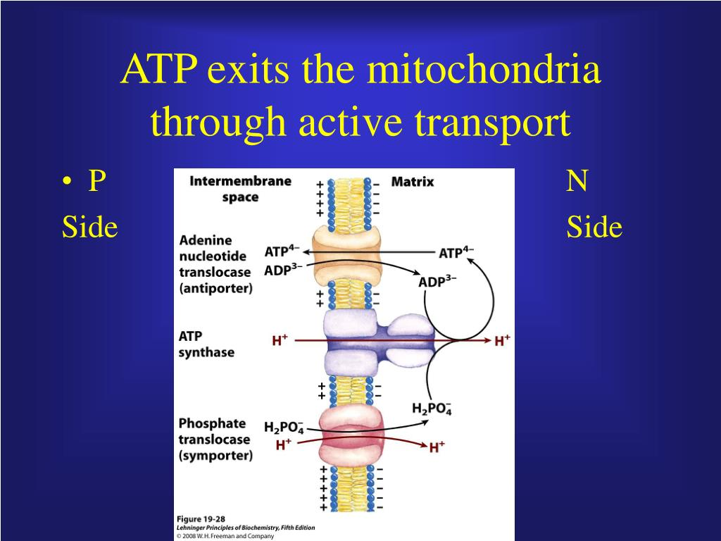 ATP exits the mitochondria through active transport
