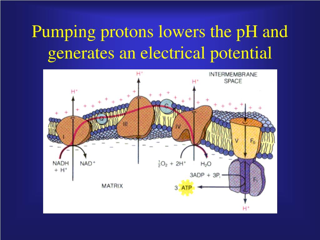 Pumping protons lowers the pH and generates an electrical potential