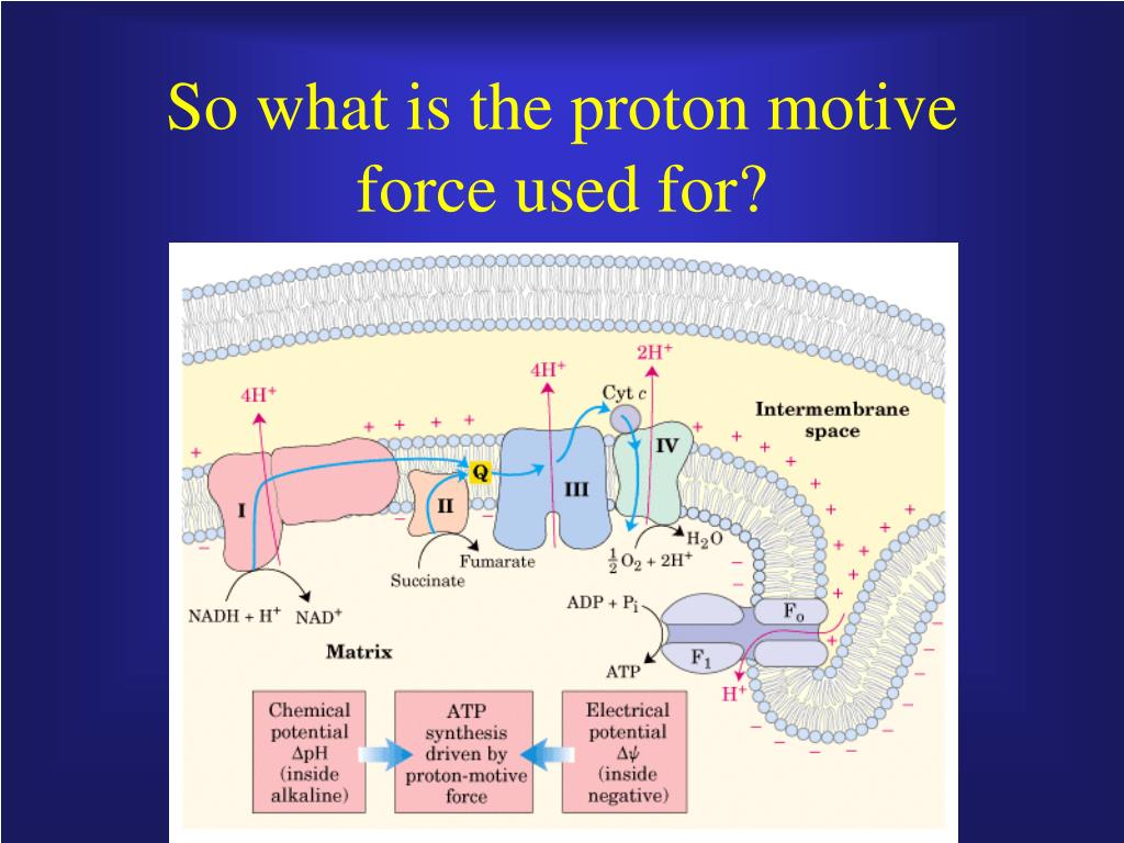 So what is the proton motive force used for?