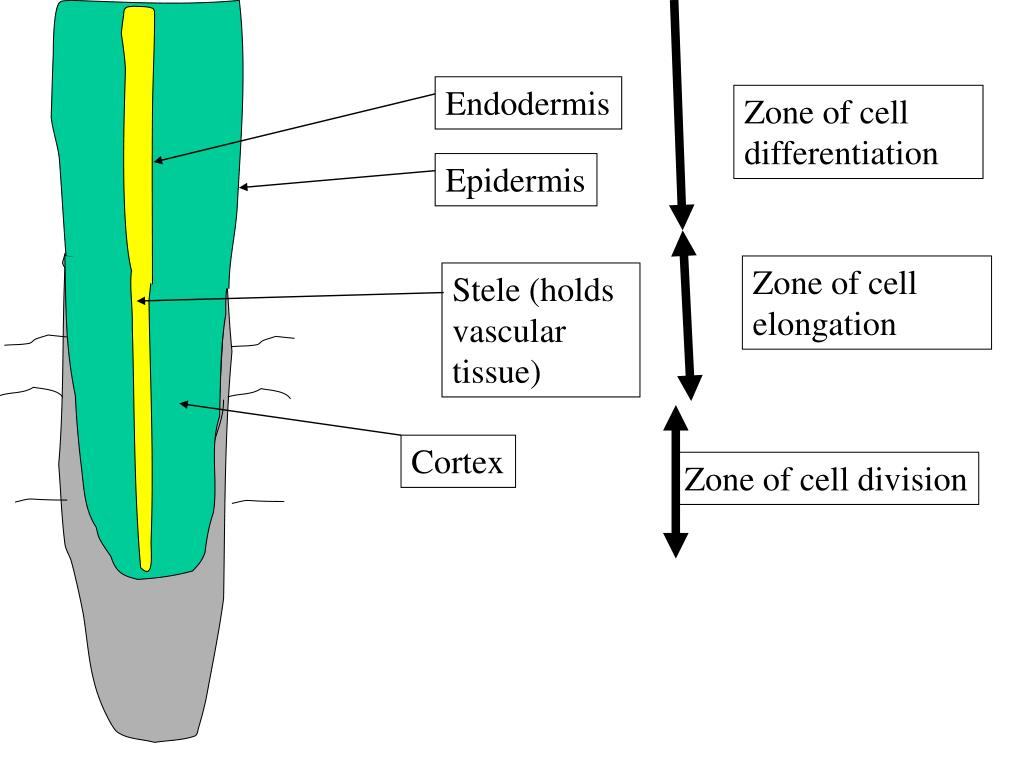 Endodermis