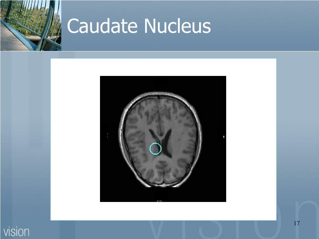 Caudate Nucleus