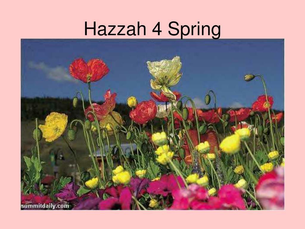 Hazzah 4 Spring