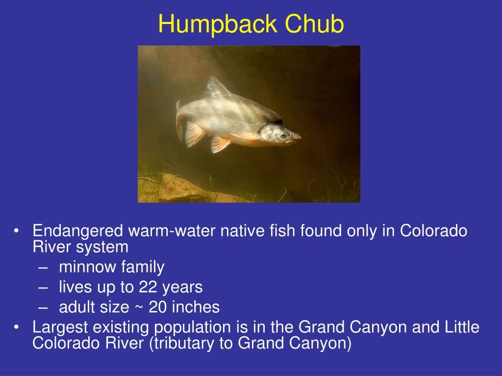 Humpback Chub