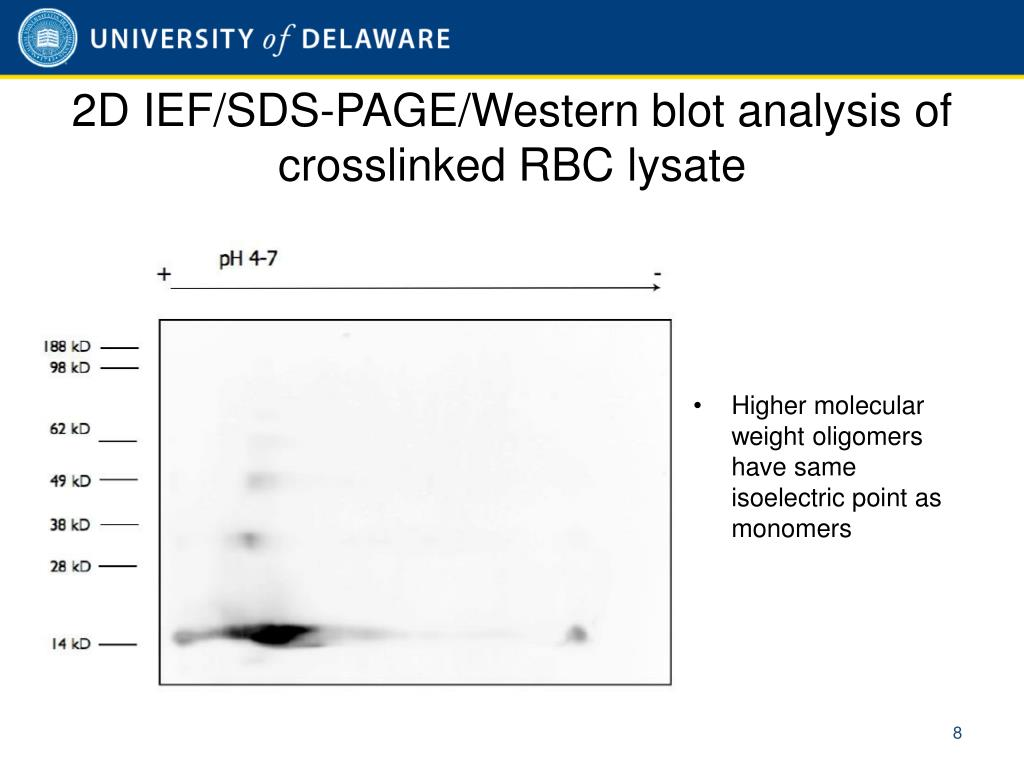 2D IEF/SDS-PAGE/Western blot analysis of crosslinked RBC lysate