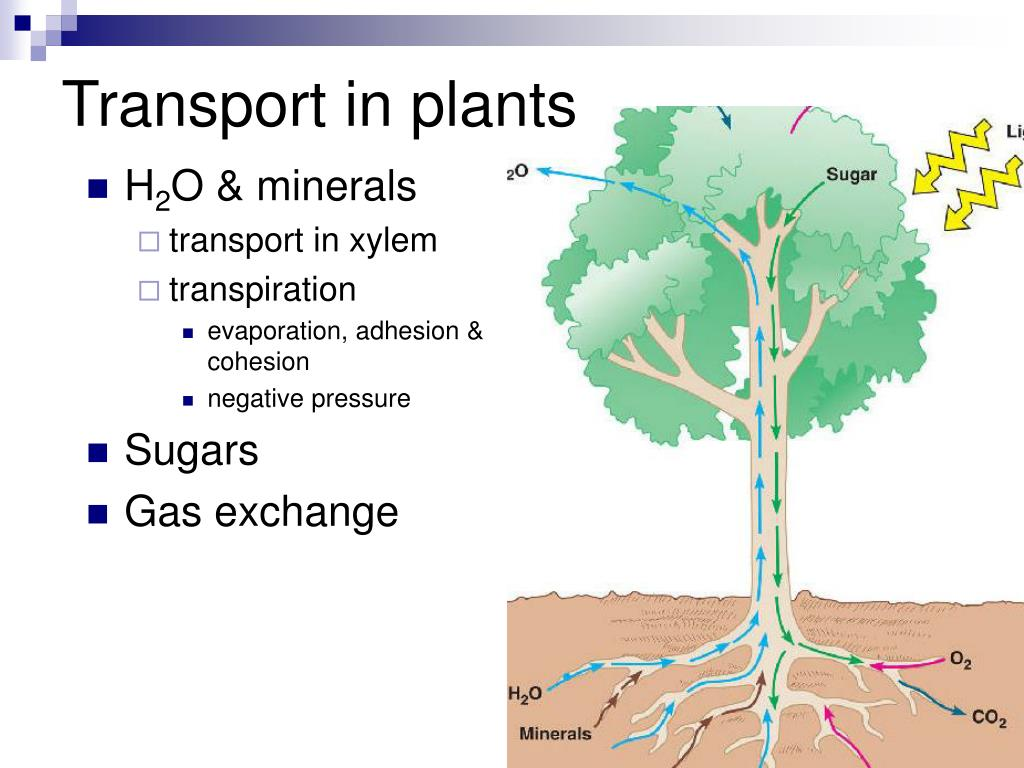 transport in plants Updated to follow mary and geoff jones cambridge igcse biology coursebook 3rd edition follows co-ordinated sciences syllabus.