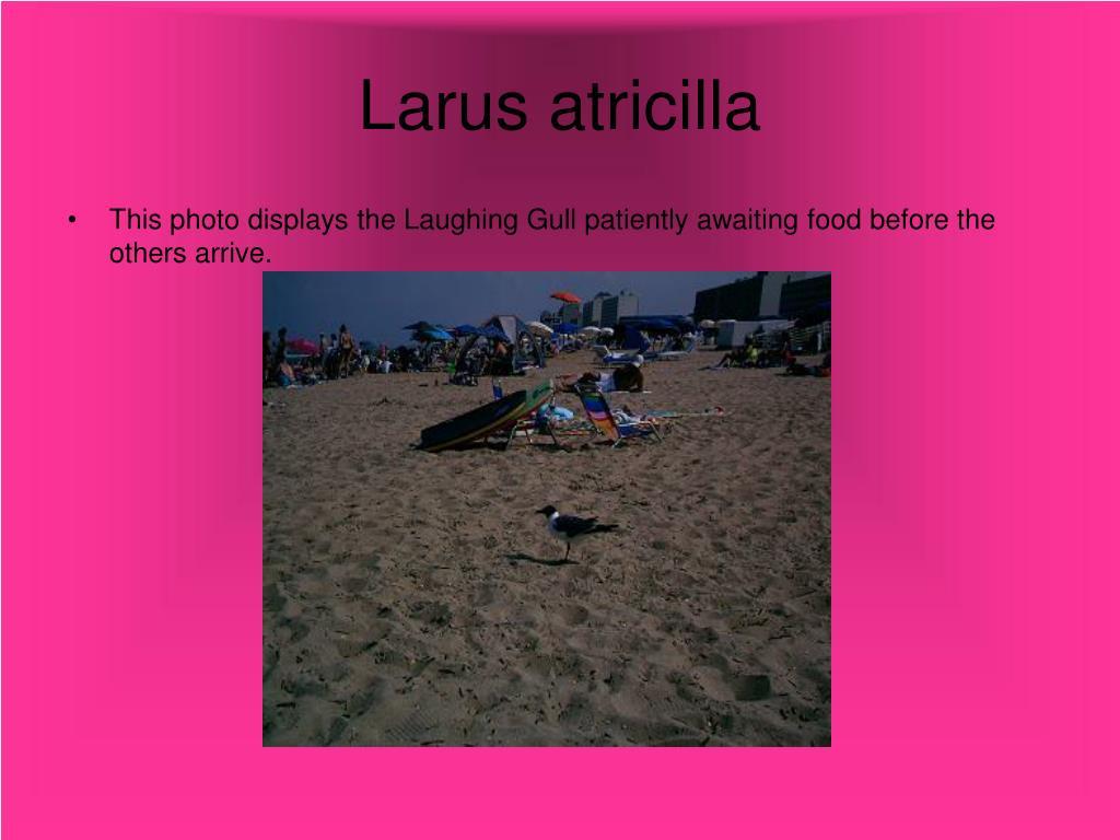 Larus atricilla