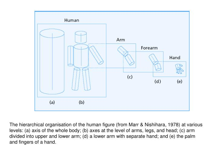 The hierarchical organisation of the human figure (from Marr & Nishihara, 1978) at various levels: (a) axis of the whole body; (b) axes at the level of arms, legs, and head; (c) arm divided into upper and lower arm; (d) a lower arm with separate hand; and (e) the palm and fingers of a hand.