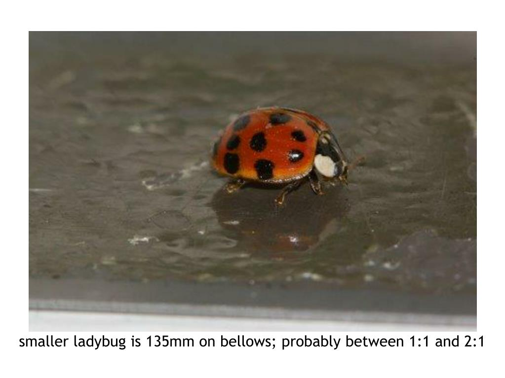 smaller ladybug is 135mm on bellows; probably between 1:1 and 2:1