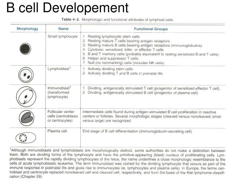B cell Developement
