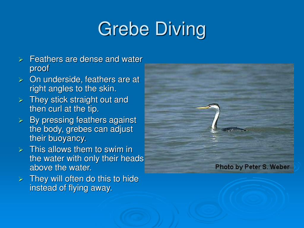 Grebe Diving