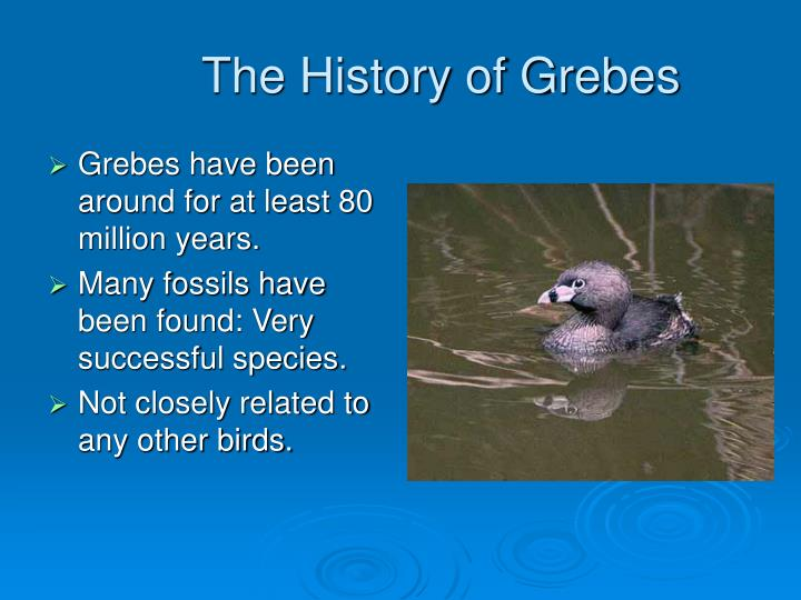 The history of grebes