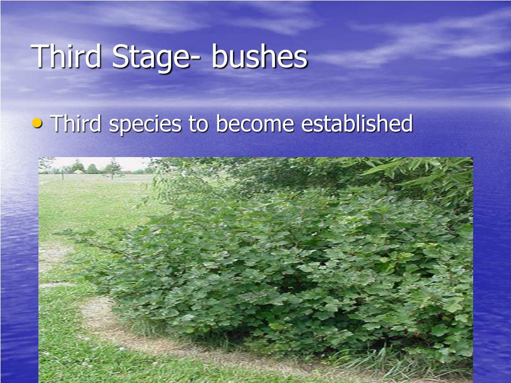Third Stage- bushes