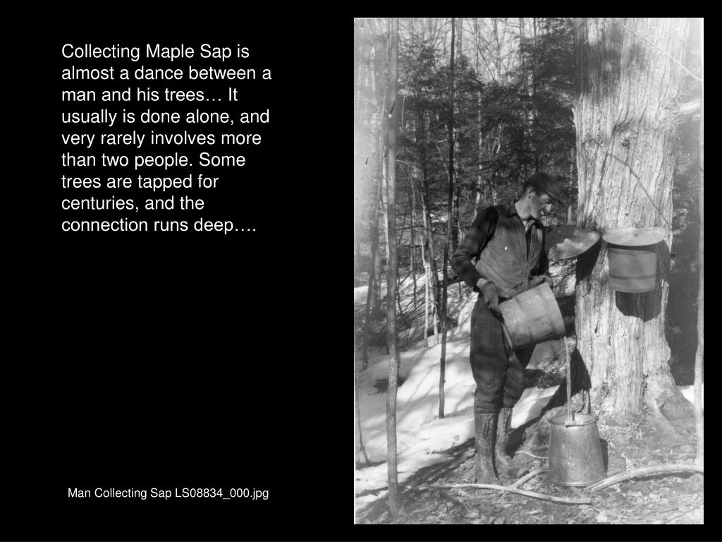 Collecting Maple Sap is almost a dance between a man and his trees… It usually is done alone, and very rarely involves more than two people. Some trees are tapped for centuries, and the connection runs deep….