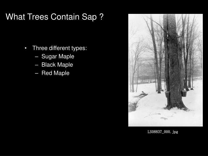 What trees contain sap