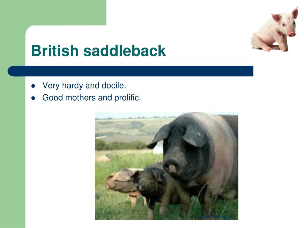British saddleback