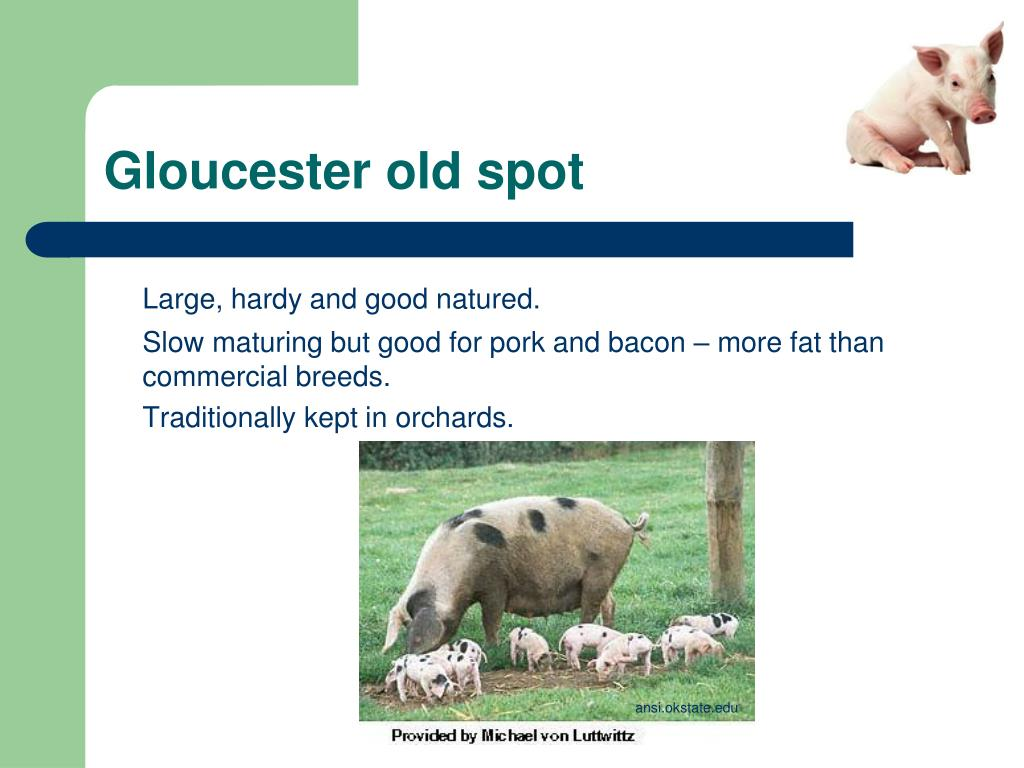 Gloucester old spot